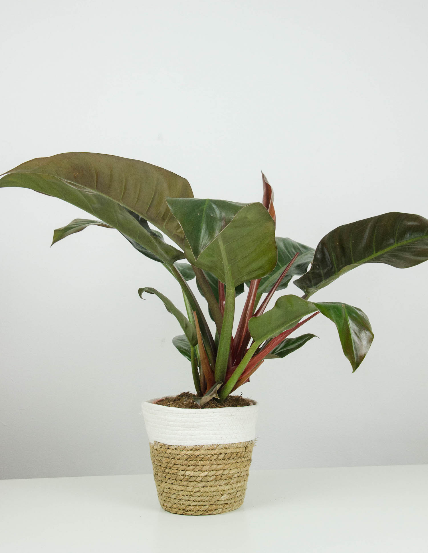 Philbert Philodendron