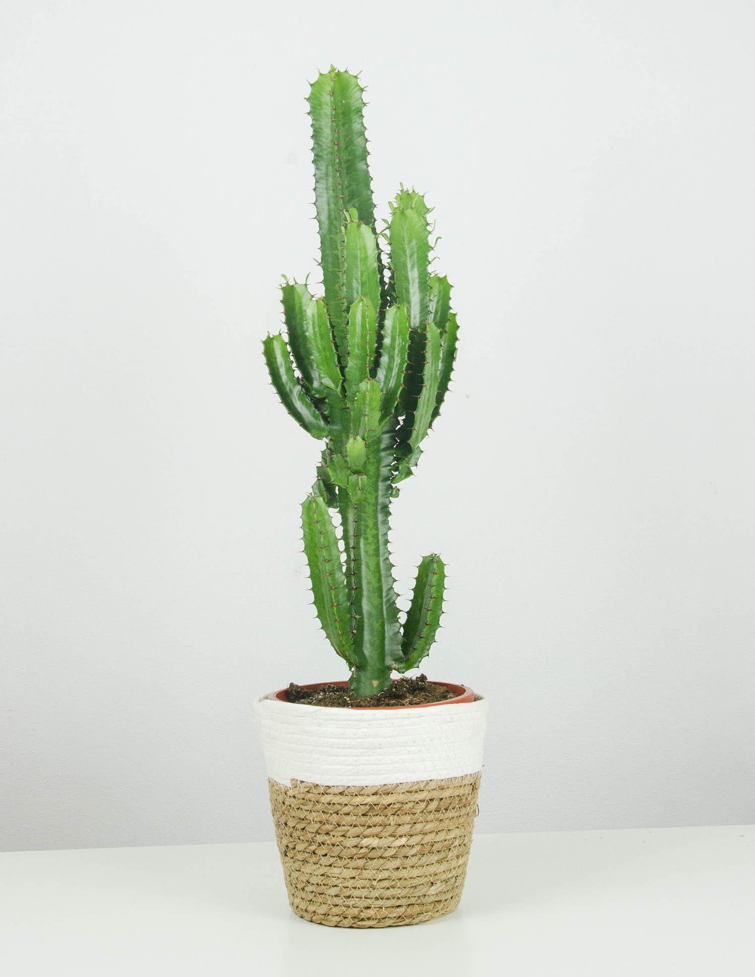 Eddy Euphorbia