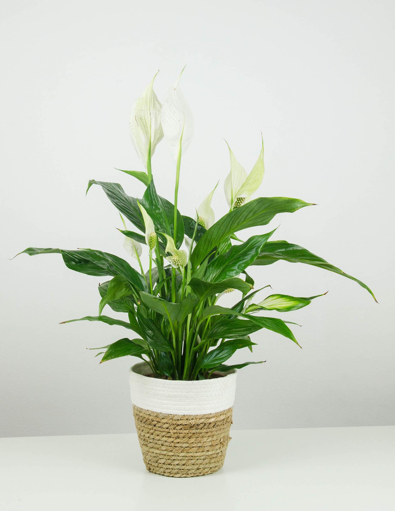 Eleonore Einblatt